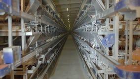 Uova e polli del pollo che mangiano alimento in azienda agricola archivi video