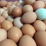 Uova fresche del blu di Brown dell'azienda agricola Fotografia Stock