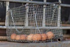 Uova marroni di Farn in un canestro grigio d'annata del metallo Fotografia Stock Libera da Diritti