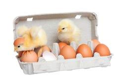 Uova nel pacchetto con il pulcino sveglio nel movimento Fotografie Stock Libere da Diritti