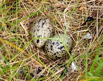 Uova in nido Fotografie Stock Libere da Diritti