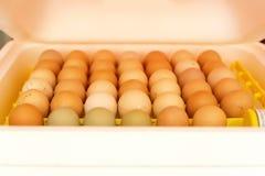 Uova in un'incubatrice fotografie stock
