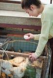 Uovo del pollo della tenuta della donna dell'agricoltore in pollaio Immagini Stock Libere da Diritti