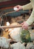 Uovo del pollo della tenuta della donna dell'agricoltore in pollaio Fotografia Stock Libera da Diritti