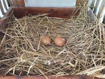 Uovo del pollo nel nido del pollo nell'azienda agricola Immagine Stock