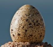 Uovo delle quaglie Immagini Stock