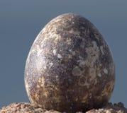 Uovo delle quaglie Immagine Stock