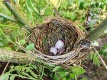Uovo di Bulbul fotografie stock libere da diritti