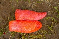 Uovo di pesce dei pesci Immagini Stock Libere da Diritti