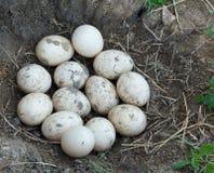 Uovo sporco dell'anatra Fotografia Stock Libera da Diritti
