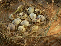 Uovo, uovo del pollo Immagini Stock