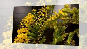 Upływ mimozy kwitnie kwitnienie zbiory wideo