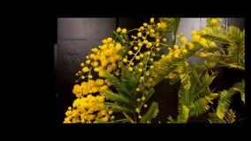 Upływ mimozy kwitnie kwitnienie zdjęcie wideo