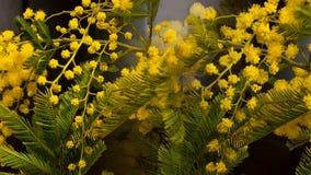 Upływ mimozy kwitnie kwitnienie zbiory