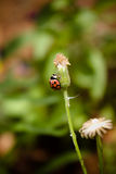 Up. Red ladybug climbing the stem of a flower Royalty Free Stock Photos