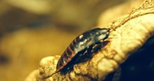马达加斯加蟑螂爬行秽 ?? 影视素材