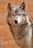 Up Against a Wall Timber Wolf. (Canis lupus) - Brick Wall Background - captive animal Stock Photo