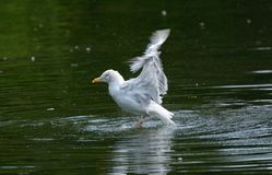 Up Up and Away! Herring gull larus argentatus trying to take off from lake. Stock Photography