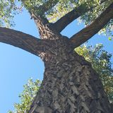 Up and away. Looking up a tree Stock Photography