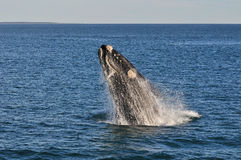 UP & AWAY 1. A Southern right whale breaching in Walker Bay,Hermanus,South Africa Stock Photos