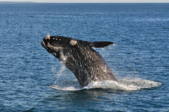 UP & AWAY 3. A Southern right whale breaching in Walker Bay,Hermanus,South Africa Stock Photography