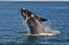 UP & AWAY 2. A Southern right whale breaching in Walker Bay,Hermanus,South Africa Stock Image