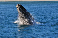 UP & AWAY 5. A Southern right whale breaching in Walker Bay,Hermanus,South Africa Royalty Free Stock Image