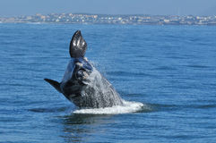 UP & AWAY 68. A Southern right whale breaching in Walker Bay,Hermanus,South Africa Royalty Free Stock Photos