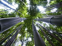 Up the bamboo Stock Image