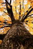 Up a big autumn tree Royalty Free Stock Photo
