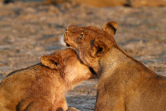 Lionesses at Sunrise Royalty Free Stock Image