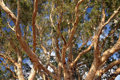 Up through the branches of a eucalyptus tree. Late afternoon sun illuminates an old tree by the sea stock photography