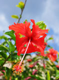 Up Close. Close-up of hibiscus flower on a sunny day Stock Photo