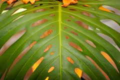 Up close banana tree leaf Stock Images