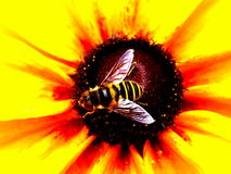 Up Close Bee & Bright Flower. Bee on super bright yellow & orange flower Stock Photography