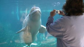 Up-close with a Beluga Whale (3 of 3). A view of Undersea Life stock video footage