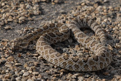 Up close with a Demon. Close up of Western Diamonback Rattlesnake Stock Photography