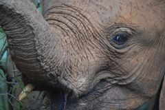 Up close Elephant. Facial shot of a juvenile elephant with trunk lifted stock photos