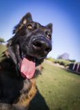 Up close with a fish eye lens to a Belgian Malinois. Extreme up close shot with a fisheye lens to a Belgian Malinois with focus on the nose Royalty Free Stock Photo