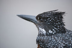 Up close with a Giant Kingfisher Stock Photo