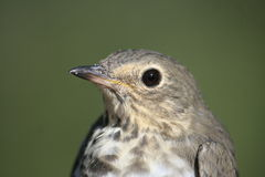 Up close with Grey-Cheeked thrush Royalty Free Stock Photo