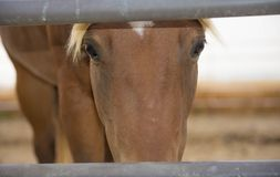 Sepia Style Horse Face Upclose royalty free stock photography