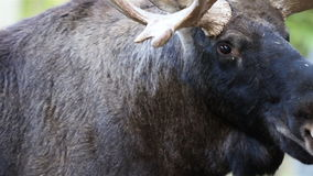 Up-close image of the moose with its big antlers stock footage