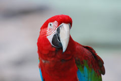 Up Close with a Large Scarlet Macaw Bird Royalty Free Stock Images