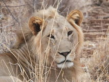 Up close Lion. Being watched by an African lion adult male Royalty Free Stock Photo