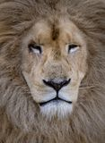 Up close. A lions scarred face. A beautiful white lion close up stock photos