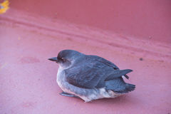 Up close look at a Cassin`s Auklet. A Cassin`s Auklet landed aboard the deck of a ship Royalty Free Stock Photography