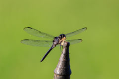 Up-close look at a dragonfly on an iron rod with an insect in its jaws Royalty Free Stock Images
