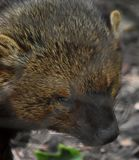 Fisher Cat in the Wild Up Close. Up close look at a fisher cat in the wild stock images