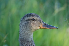 Up close with mallard Stock Image